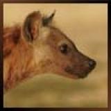 Hyena's Profielfoto
